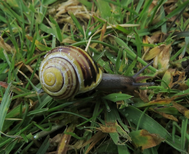 White lipped banded snail